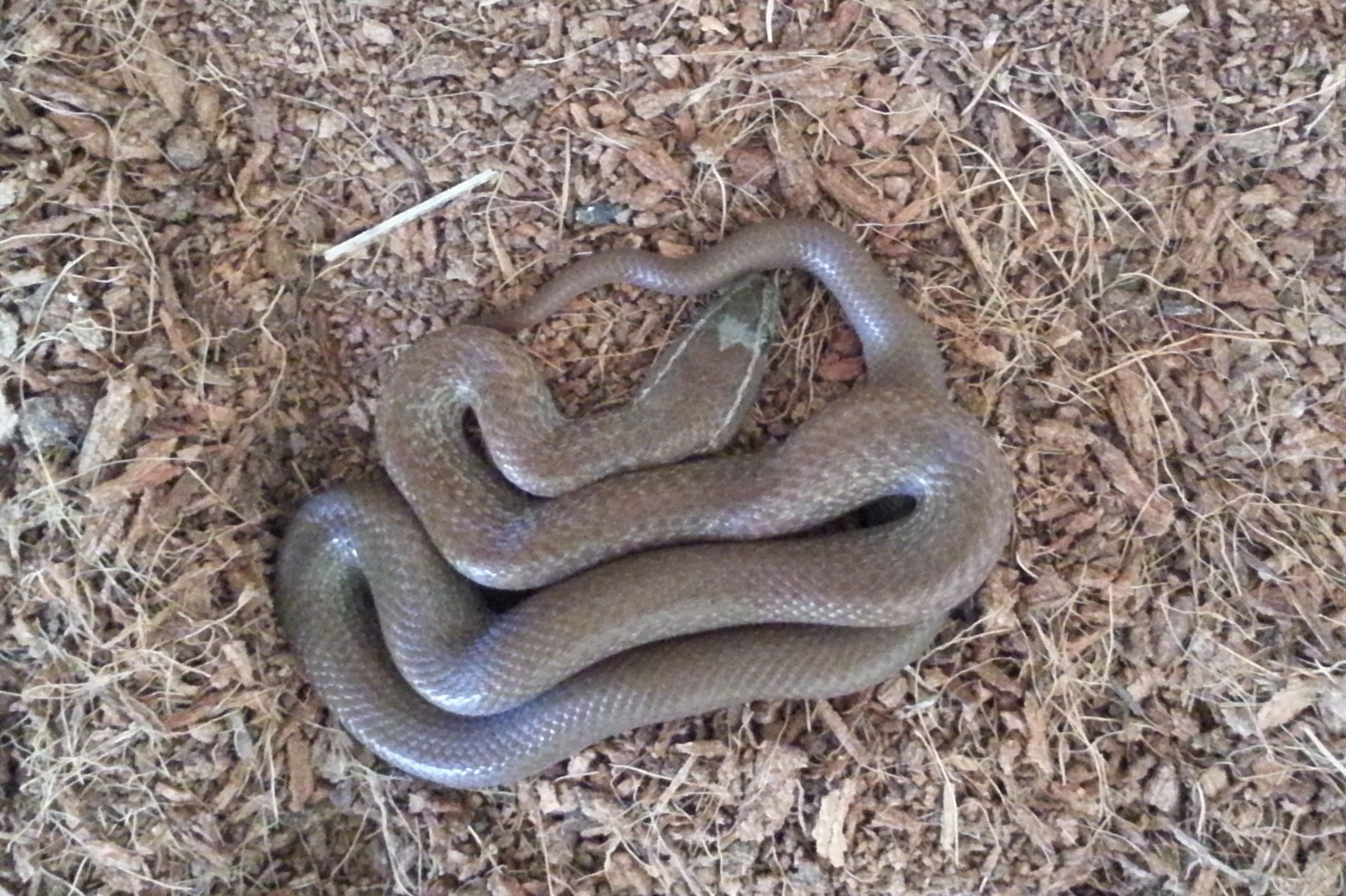 What Eats A Snake Images